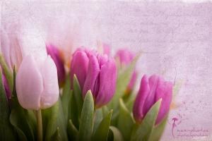 tulips_IMG_7850