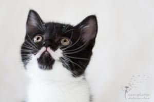 Britisch Kurzhaar - Portrait - Tierfotografie Gütersloh