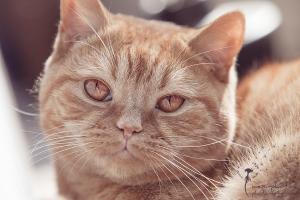 Britisch Kurzhaar Kater - Portrait - Tierfotografie Gütersloh