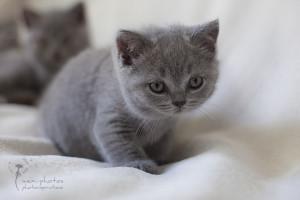 Britisch Kurzhaar Kitten - Tierfotografie mexi-photos